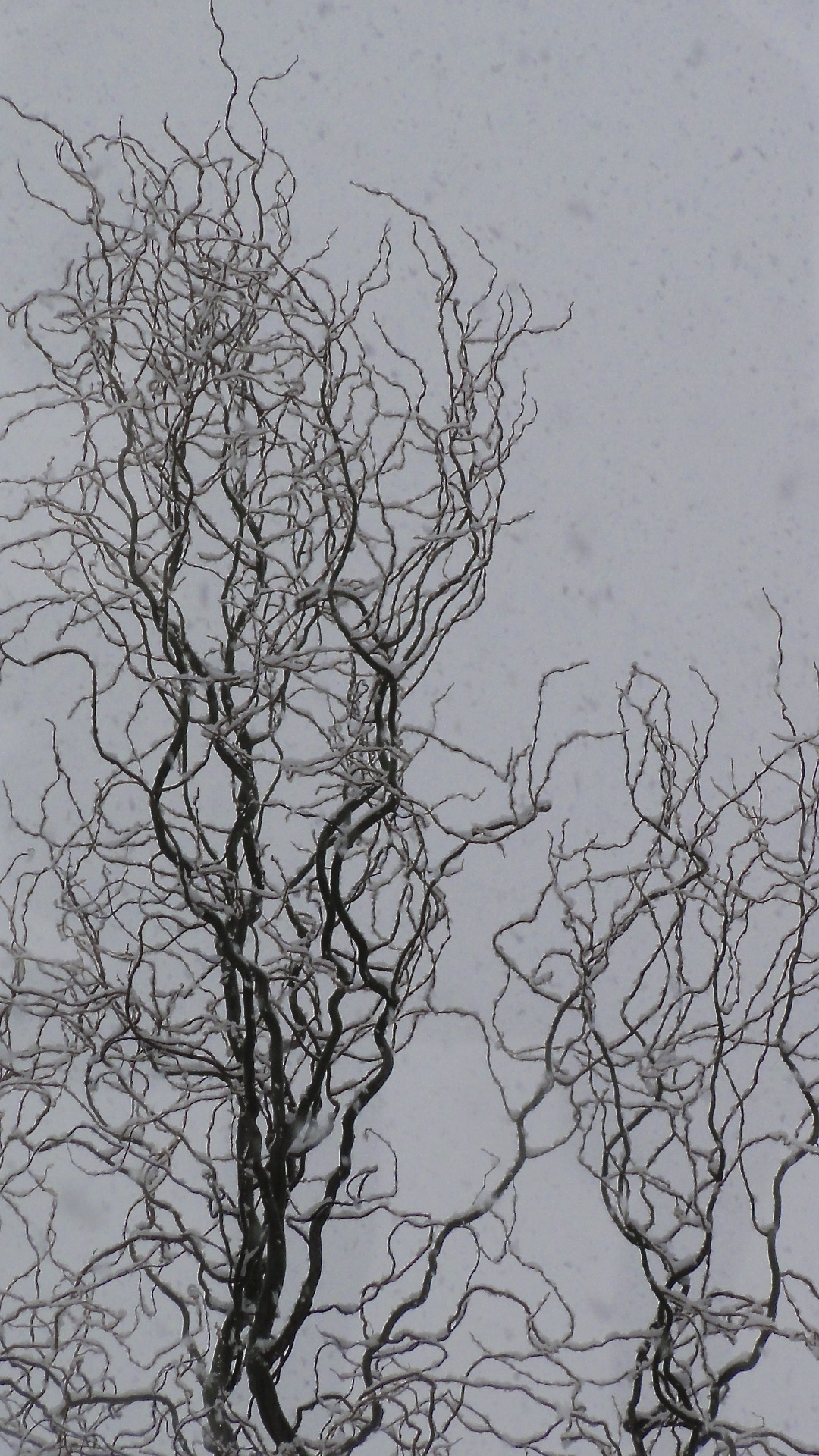 My corkscrew willow refuses to weep, reaches high to catch the snowflakes.